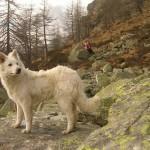 Un lupo? o un cane pastore!